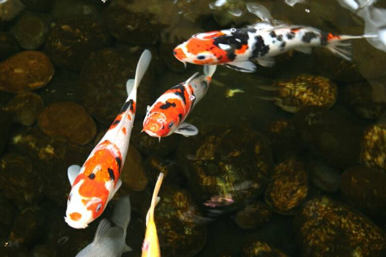 Koi more pond shop highland park il for Amazing koi fish