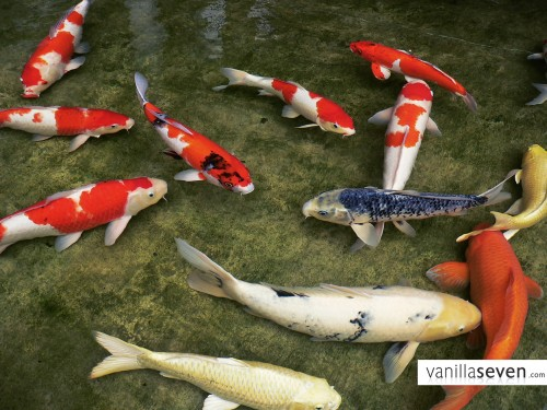 About me for Koi fish pond care in winter